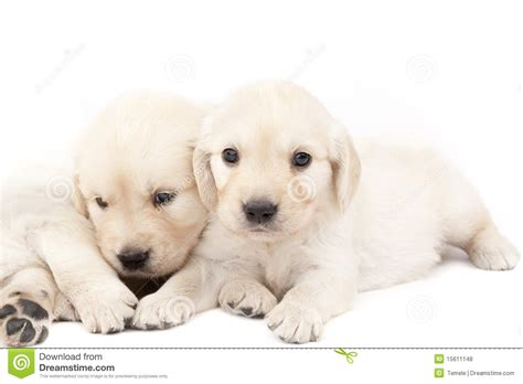 two puppies two beautiful puppies royalty free stock photos image 15611148
