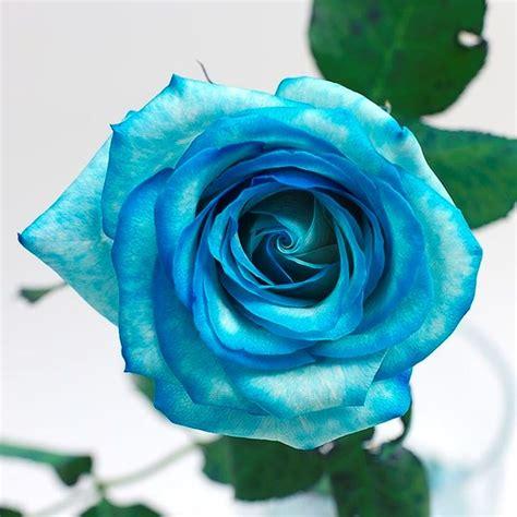significato fiori rosa rosa significato significato fiori rosa significato