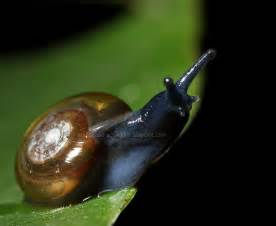 What Do Freshwater Snails Eat They are a true aquatic snails