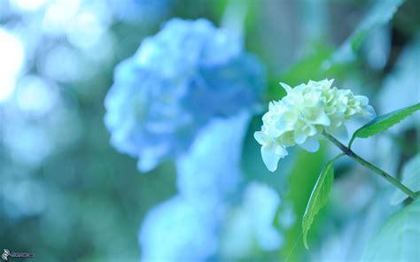 fiore ortensia ortensia
