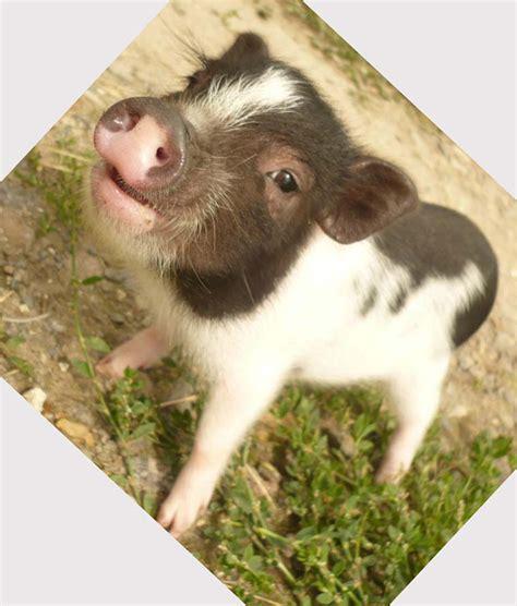 Mini Pet mini pet pigs