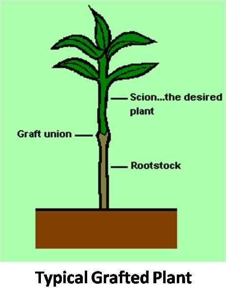 scion plant package of practice removal of from graft union