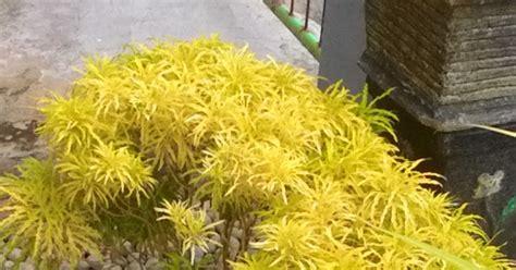 tanaman hias  merawat tanaman hias brokoli kuning