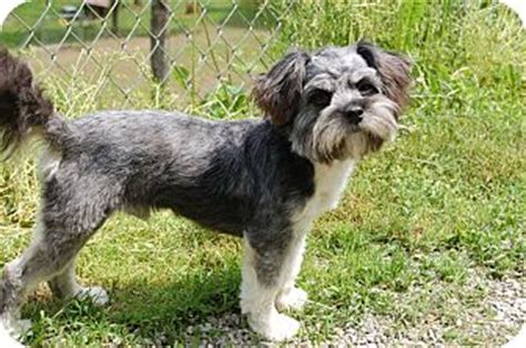 mini schnauzer shih tzu mix adoption miniature schnauzer on miniature schnauzer shih tzu mix breeds picture