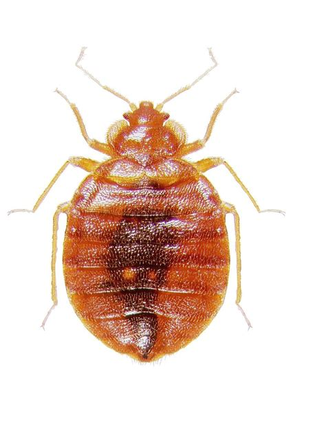picture bed bug bed bugs and eggs bed bugs