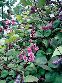 hyacinth bean carolina gardener hot plants