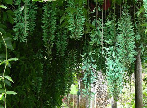 how to grow the jade vine the garden of eaden