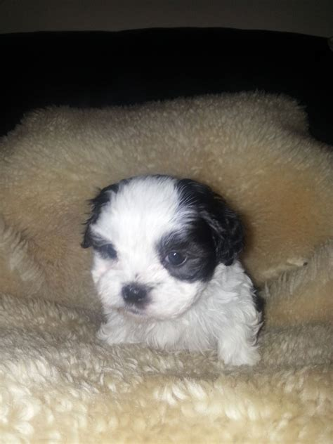 maltese shih tzu for sale uk maltese shih tzu puppies for sale quotes