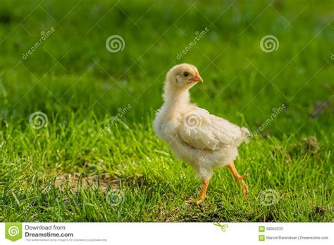 backyard chicken blogs poultry backyard chickens stock photo image 58352233
