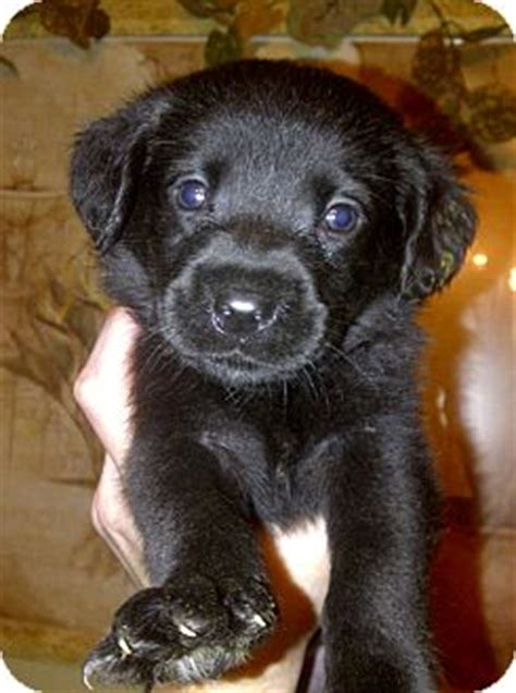 lab puppies for sale in charleston sc black labrador retriever south carolina breeds picture