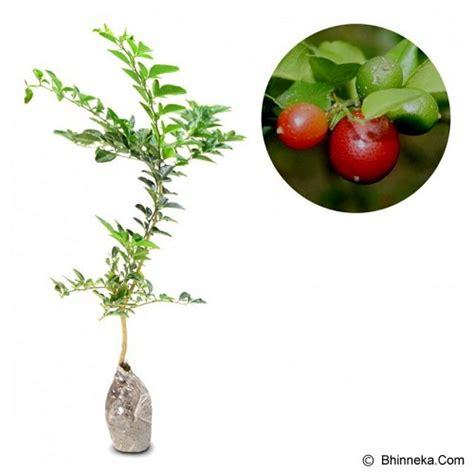 Bibit Buah Jeruk jual kebun bibit tanaman jeruk kingkit murah bhinneka