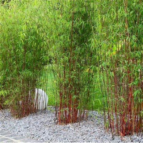 516 best images about bambou on pinterest hedges bamboo