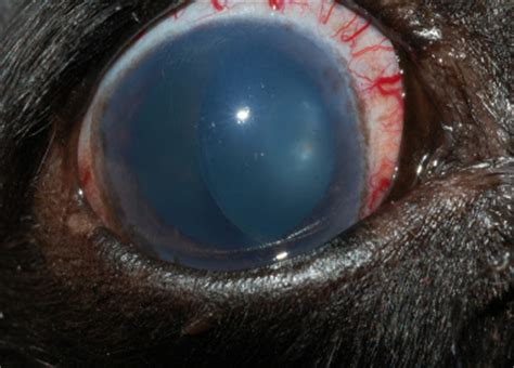 dilated pupils in dogs glaucoma