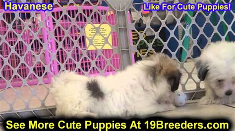 puppies for sale lewiston idaho havanese puppies for sale in boise city idaho id rexburg post falls lewiston