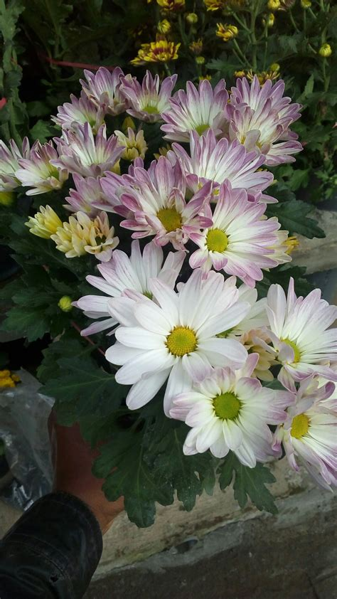 Jual Bunga by Jual Tanaman Bunga Krisan Atau Tanaman Bunga Seruni