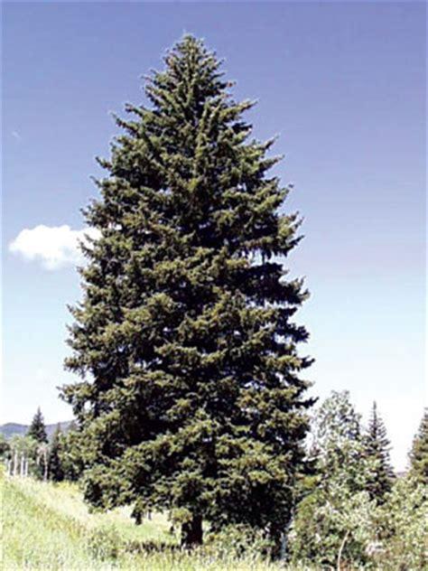 colorado mountain christmas tree colorado s major tree species colorado state forest service