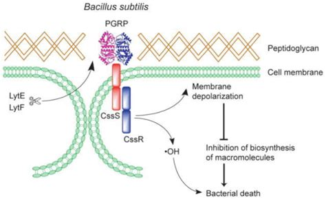 figure peptidoglycan recognition proteins kill bacteria