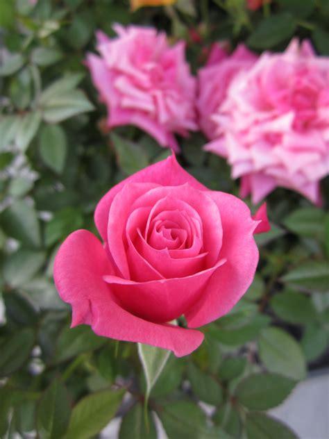 miniature roses related keywords miniature roses long tail keywords keywordsking