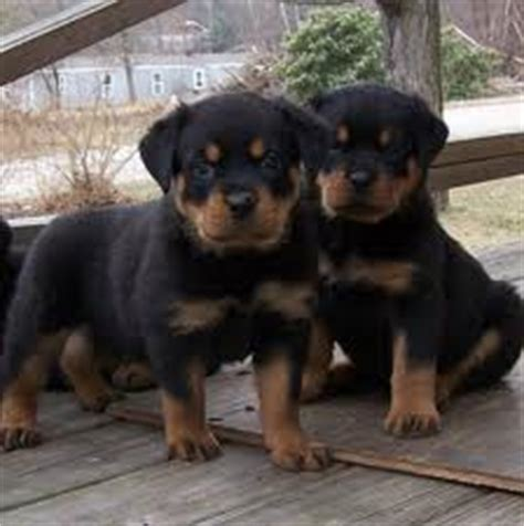 rottweiler for sale in kerala 2015 vishakham search results calendar 2015
