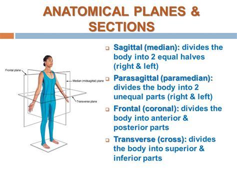 divides body or organ into unequal right and left sections introduction to anatomy skeletal system bone ppt video
