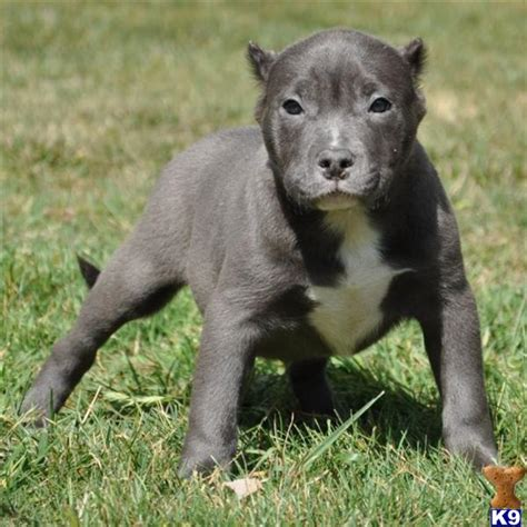 Pit For Sale by American Pit Bull Puppy For Sale Sold Sold