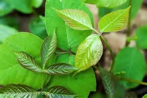 poison ivy quiz the poison ivy poison oak poison sumac
