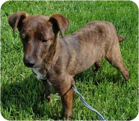 puppies for adoption in ga feist puppies for sale in and breeders feist breeds picture