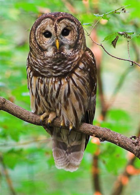 Symbolic Owl Meaning Spirit Totem Power Animal Messengers Owl Meanings