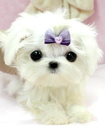 royal teacup puppies micro puppy from quot royal teacup puppies quot pet accessories crumpets