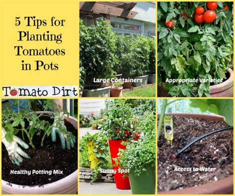 5 tips for planting tomatoes in pots how to plan for success