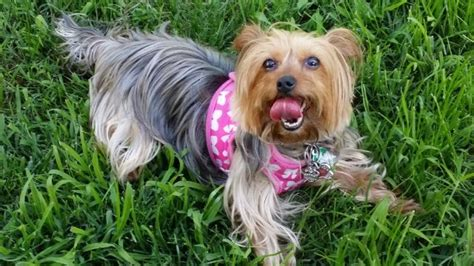 7 pound yorkie update returned quot 7 pound yorkie who was visiting dc from nj for thanksgiving