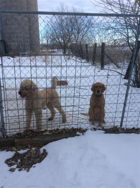 island puppies island farm goldens photo gallery