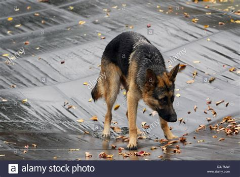 biden puppy vice president joe biden s ch finds his way onto a pool cover stock photo