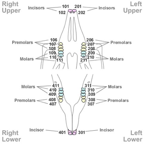 tooth numbering in other species