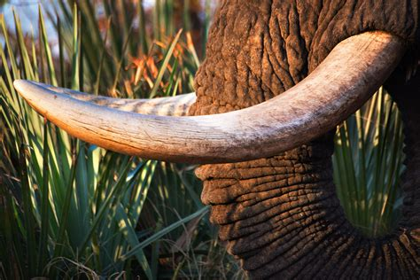elephant ivory elephant charities the the bad the africa