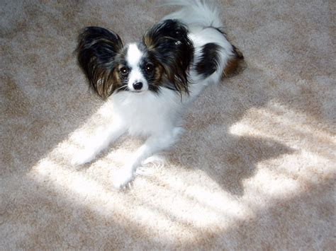 breeds x papillon breed breeds
