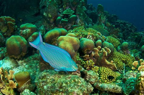 Green World Sea Fish parrotfish the fish that can save coral reefs