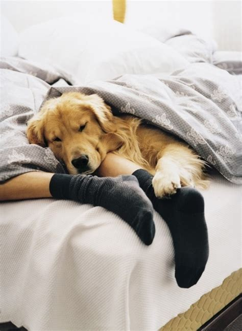 golden retriever bed bed cozy cuddles golden retriever tarahv