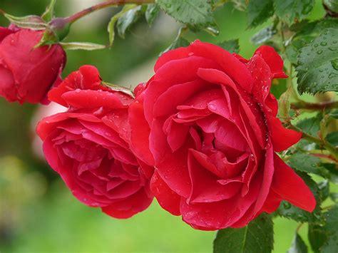 red roses flowers dew drops flowering wallpapers  ultra