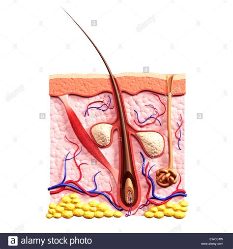 cross section of hair follicle cross section of skin showing hair follicle sebaceous