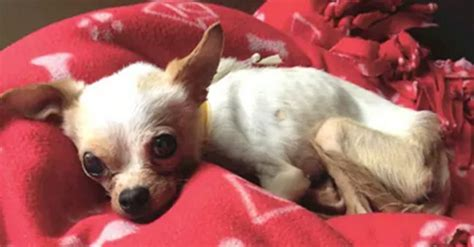 maggie the inner musings of a chihuahua a memoir books stray chihuahua can t even walk but recovers