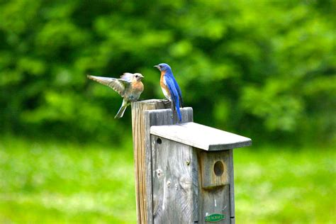 where to place bluebird house bluebirds a sign of spring duncraft s wild bird blog
