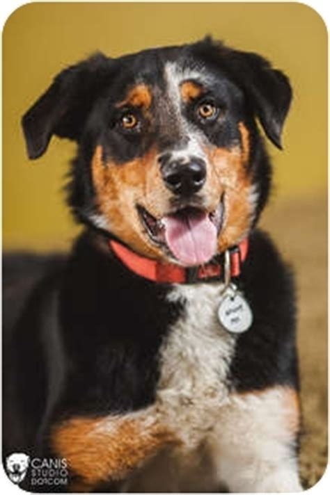 bernese mountain oregon patches adopted portland or bernese mountain catahoula leopard mix