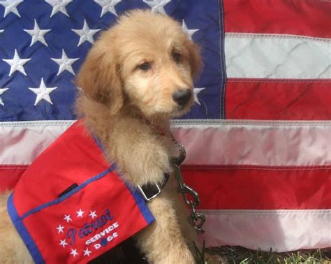 goldendoodle puppy weight gain 103 best images about service dogs on service