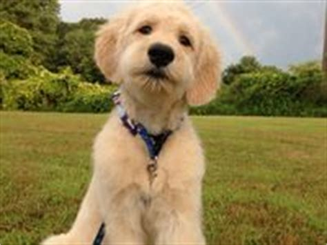 goldendoodle puppy ear infection 1000 images about on goldendoodle