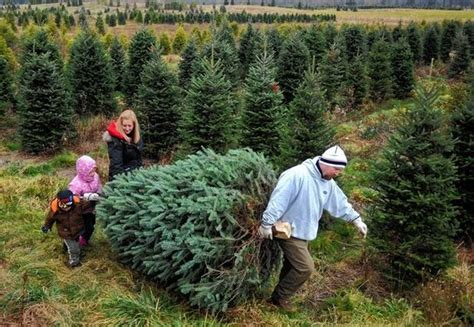 cut down your own christmas tree edmonton where to cut your own tree in the catskills newyorkupstate