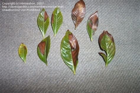 Gardenia Diseases Garden Pests And Diseases Gardenia Leaf Damage