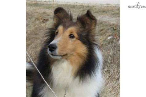 free sheltie puppies meet kharma a shetland sheepdog sheltie puppy for sale for 600 kharma