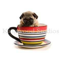 pug sneezing a lot this pugs pug i want and shops