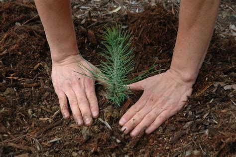 learn how to grow pine trees from seeds